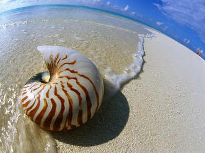 Nautilus Shell Picture