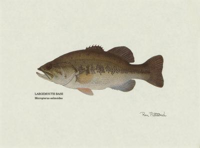 Largemouth Bass Fish Art Print