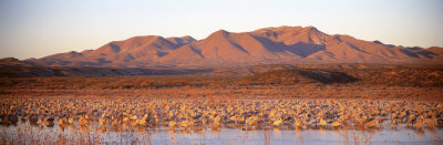 Sandhill Crane, Bosque Del Apache, New Mexico, USA
