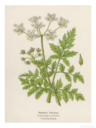 Beaked Parsley