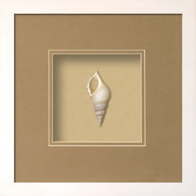 Baby Tibia Shell (Beachcomber Collection) Posters