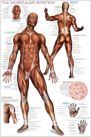 Muskelsystem