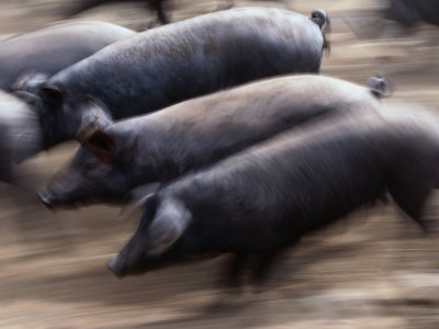 Black Iberico Pigs, Andalucia, Spain
