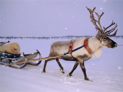 Reindeer, Pulling Sledge, Saami ...