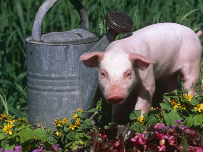 Domestic Piglet Beside Watering Can, USA