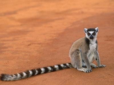 Ring-Tailed Lemur (Lemur Catta) Berenty Reserve, Madagascar