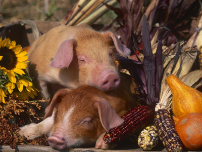 Domestic Piglets, Resting Amongst Vegetables, USA