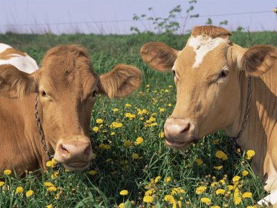 Pair of Guernsey Cows (Bos Taurus) Wisconsin, USA