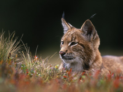 Young European Lynx Waking up Among ...