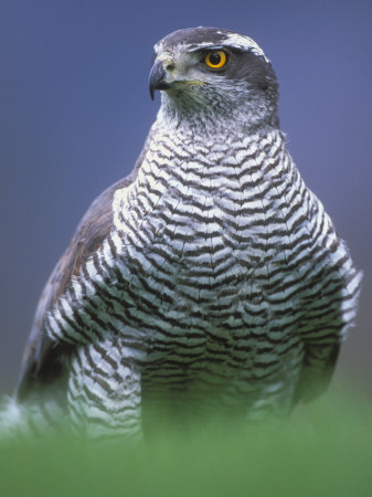 Northern Goshawk, Male Close-Up, Scotland