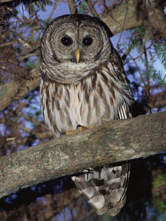 Barred Owl in Tree, Corkscrew Swamp Sanctuary Florida USA