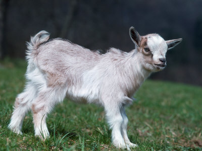 Pygmy Domestic Goat Kid