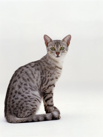 Domestic Cat, Female Silver Egyptian Mau