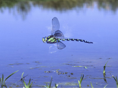 Southern Hawker Dragonfly Male Hovering Over Pond, UK