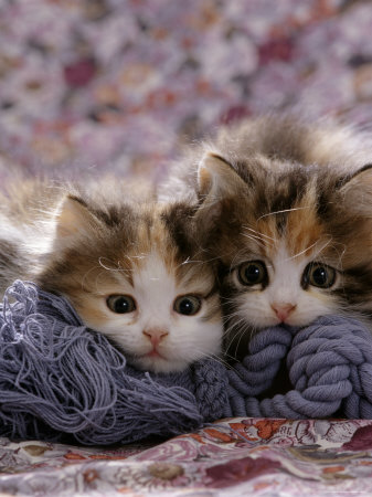 Domestic Cat Kittens, 8-Weeks, Tortoiseshell-And-White Sisters, (Persian-Cross