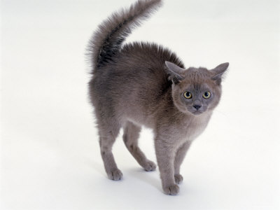 Domestic Cat, Blue Burmese Kitten, Frightened with Fur Raised Along Back and Tail Fluffed Up