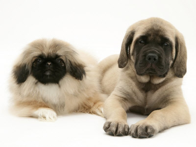 Pekingese and English Mastiff Puppies