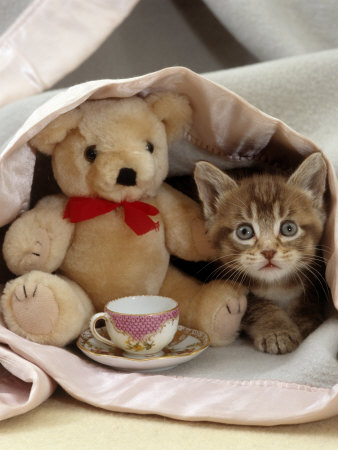 Domestic Cat, Brown Ticked Tabby Kitten, Under Blanket with Teddy Bear