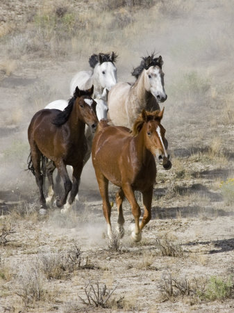Group of Wild Horses, Cantering Across Sagebrush-Steppe, Adobe Town, Wyoming, USA