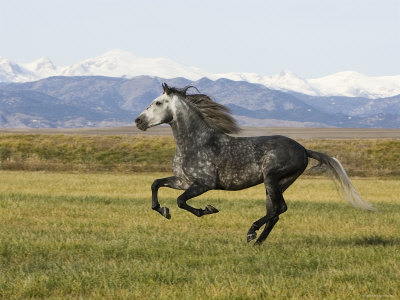 Gray Andalusian Stallion, Cantering Profile, Longmont, Colorado, USA