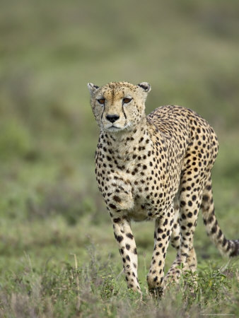 Cheetah (Acinonyx Jubatus) Walking Towards Viewer, Serengeti National Park, Tanzania