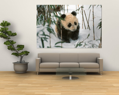 Panda Cub on Snow, Wolong, Sichuan, China