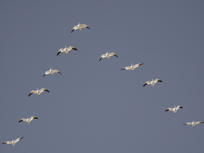 Snow Geese Flying in V-Formation