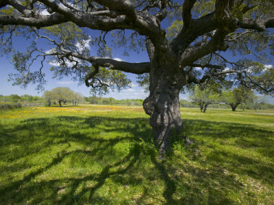 Oak Trees and Wildflowers Bloom Near Cuero, Texas, USA