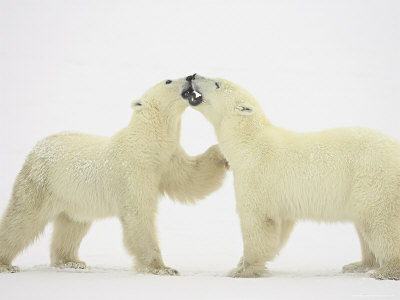 Two Polar Bears (Thalarctos ...