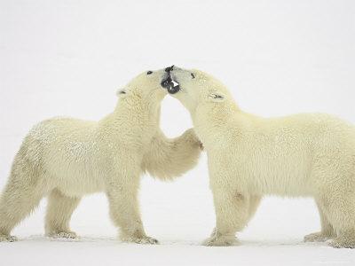 Two Polar Bears (Thalarctos ...