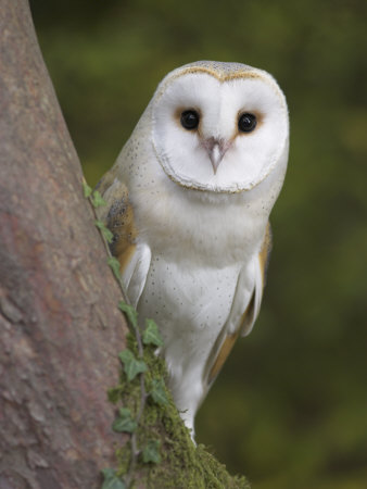 Female Barn Owl, Tyto Alba, World Owl Trust, Muncaster Castle, Ravenglass, Cumbria, UK, Captive
