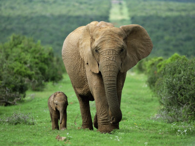 Mother and Calf, African Elephant (Loxodonta Africana), Addo National Park, South Africa, Africa