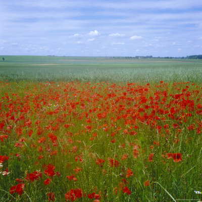 Fields of Poppies, Valley of the Somme, Nord-Picardy (Somme), France