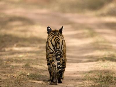Bengal Tiger, Panthera Tigris Tigris, Bandhavgarh National Park, Madhya Pradesh, India, Asia