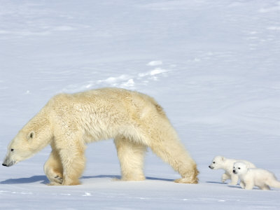 Polar Bear Mother with Twin Cubs, Wapusk National Park, Churchill, Manitoba, Canada