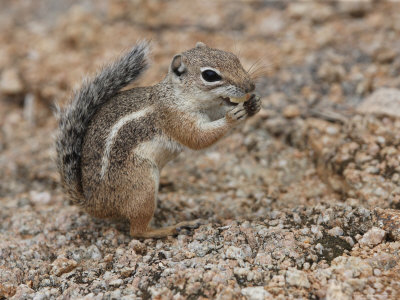 Antelope Ground Squirrel Poses for a Picture
