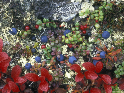 Blueberry Plants and Mosses, Alaska