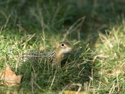 Curious 13-Lined Ground Squirrel Tries to Sniff Out Danger, Henry Doorly Zoo, Nebraska