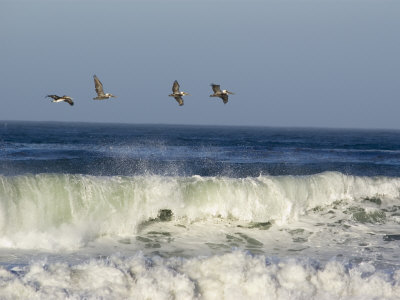 Four Brown Pelicans Flying above the Surf, California