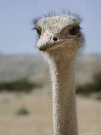 Close-Up of an Ostrich