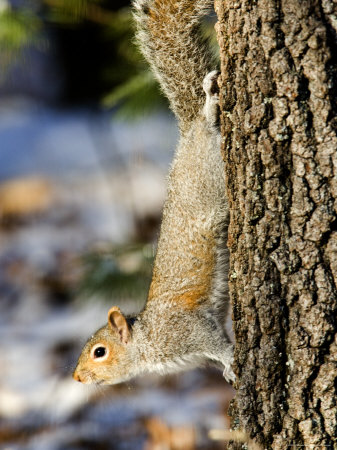 Eastern Gray Squirrel Climbing Down a Tree, Lexington, Massachusetts