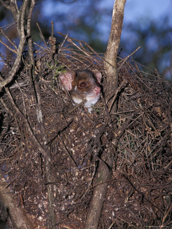Ringtail Possum Emerging from Nest Drey to Feed at Night, Yellingbo Nature Reserve, Australia