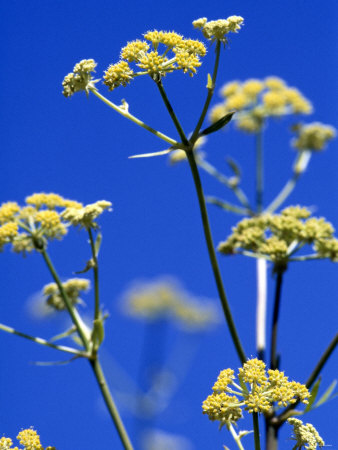 Lovage Against Blue Sky