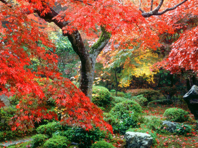 Garden with Maple Trees in Enkouin Temple, Autumn, Kyoto, Japan,