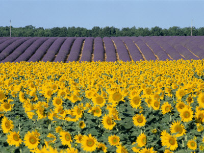 Sunflower Fields, Provence, France