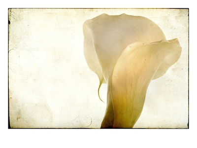Detail of Calla Lily
