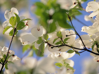 Dogwood Trees in Bloom, Jamaica Plains, MA