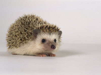 Four-Toed Hedgehog