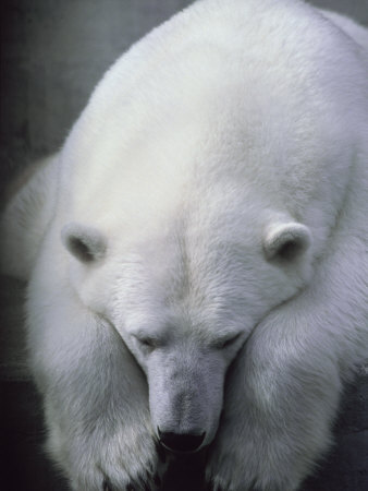 Polar Bear Lying Down
