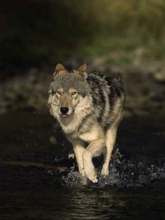 Limber Wolf Running Through River, Canis Lupus